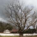旧閑谷学校の楷の木によせて